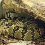 Serpents venimeux